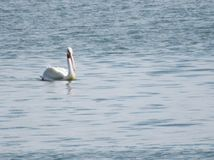 漂浮在湖的孤立鹈鹕 库存照片