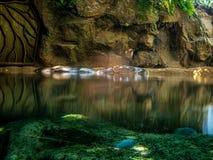 漂浮在湖的幼小河马 图库摄影