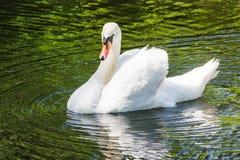 在湖的天鹅 免版税库存图片