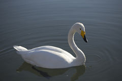 漂浮在湖的白色天鹅 免版税库存照片