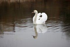 漂浮在湖的美丽的白色天鹅 免版税图库摄影