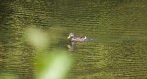 漂浮在湖的金黄水的鸭子 免版税库存照片