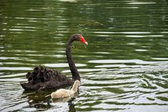 漂浮在湖的黑天鹅家庭 库存照片