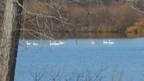 漂浮在秋天湖或河的白色天鹅 股票录像