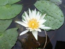 漂浮在花盆的浪端的白色泡沫百合 免版税库存照片