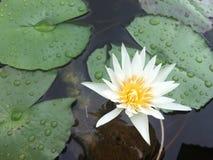 漂浮在花盆的浪端的白色泡沫百合 免版税图库摄影