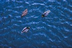 漂浮在蓝色冬天水中的三只鸭子 库存图片