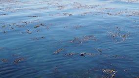 漂浮在蓝色清楚的水中的海草顶上的射击在好日子 股票视频