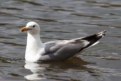漂浮在镇静水中的圆环开帐单的海鸥 库存照片