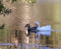 漂浮在镇静水域中的美丽的鸭子 库存图片