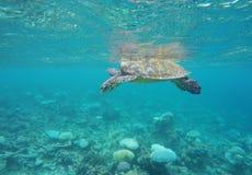 漂浮在马尔代夫的乌龟 免版税库存图片