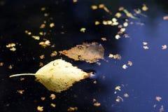 漂浮在黑暗的水,特写镜头中的下落的叶子 免版税图库摄影