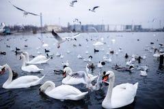 漂浮在黑海,傲德萨的很多小组鸟 免版税图库摄影