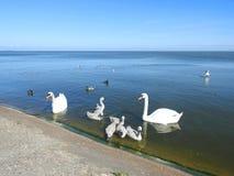漂浮在水中的白色天鹅家庭 库存照片