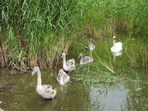 漂浮在水中的白色天鹅家庭 免版税图库摄影