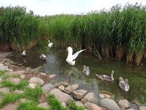 漂浮在水中的白色天鹅家庭 免版税库存图片