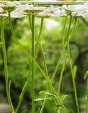 漂浮在水中的白色领域雏菊 照片春黄菊在底部开花,在水面下,与弄脏的特写镜头 免版税库存图片