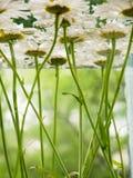 漂浮在水中的白色领域雏菊 照片春黄菊在底部开花,在水面下,与弄脏的特写镜头 免版税库存照片