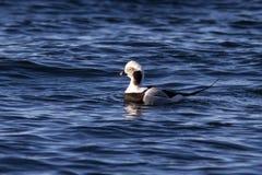 漂浮在晴朗的海洋的水域的中公长尾的鸭子 图库摄影