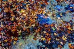 漂浮在从槭树的一条清楚的小河的秋叶在失去的槭树 库存照片