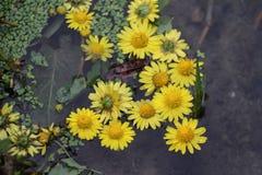漂浮在水池的菊花 库存照片