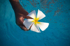 漂浮在水池的赤素馨花花开花 免版税库存照片