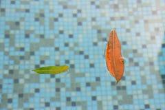 漂浮在水池的这些叶子提供所有水池需要被维护的好的松弛瞄准和一个提示 如果您有 免版税库存照片