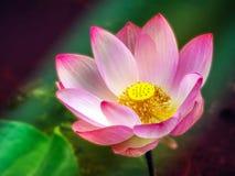 漂浮在水池阳光的五颜六色的莲花在早晨 免版税库存图片