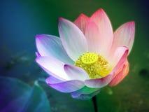 漂浮在水池阳光的五颜六色的莲花在早晨 图库摄影