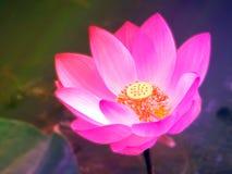 漂浮在水池阳光的五颜六色的莲花在早晨 免版税图库摄影