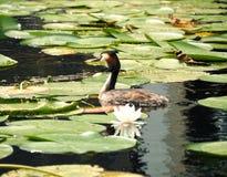 漂浮在水湖的伟大的有顶饰格里布podiceps cristatus 免版税图库摄影