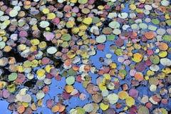 漂浮在水的五颜六色的秋叶 免版税图库摄影