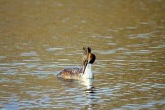 漂浮在水的动物狂放的鸟Podiceps cristatus 库存照片