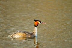 漂浮在水的动物狂放的鸟Podiceps cristatus 图库摄影