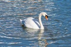 漂浮在水的天鹅 免版税库存图片
