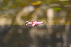 漂浮在水的桃红色紫罗兰色赤素馨花花 免版税图库摄影