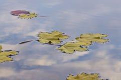 漂浮在水的槭树叶子 免版税库存照片