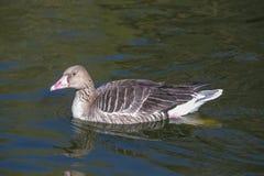 漂浮在水的灰色鹅 免版税库存照片