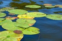 漂浮在水的睡莲叶 免版税库存照片