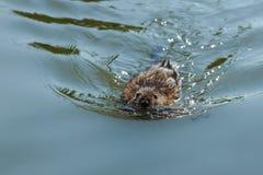 漂浮在水的Musquash或麝香鼠在湖 免版税库存照片
