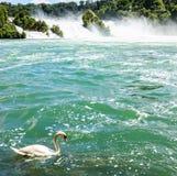 漂浮在Rheinfall瀑布在莱茵河,欧洲最大的瀑布前面的美丽的白色天鹅  库存照片
