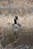 漂浮在The Creek的加拿大鹅 图库摄影