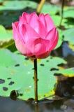 漂浮桃红色的莲花, (莲属nucifera花) 免版税图库摄影