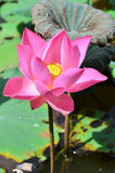 漂浮桃红色的莲花, (莲属nucifera花) 免版税库存照片