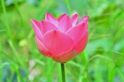 漂浮桃红色的莲花, (莲属nucifera花) 免版税库存图片