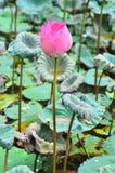 漂浮桃红色的莲花, (莲属nucifera花) 库存照片