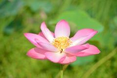 漂浮桃红色的莲花, & x28; 莲属nucifera flower& x29; 免版税图库摄影