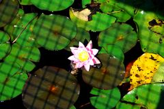 漂浮池塘的表面上的美丽的荷花 免版税库存照片