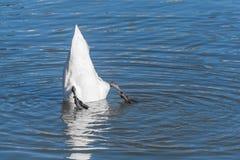 漂浮的天鹅颠倒 库存照片