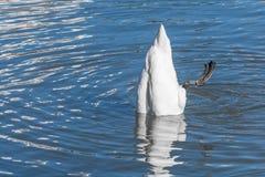 漂浮的天鹅颠倒 库存图片